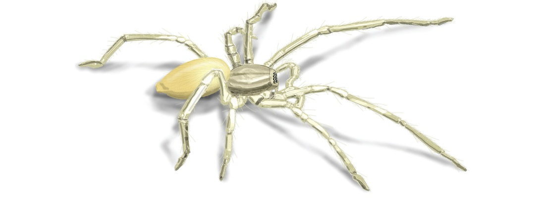 YellowSacSpider.jpg